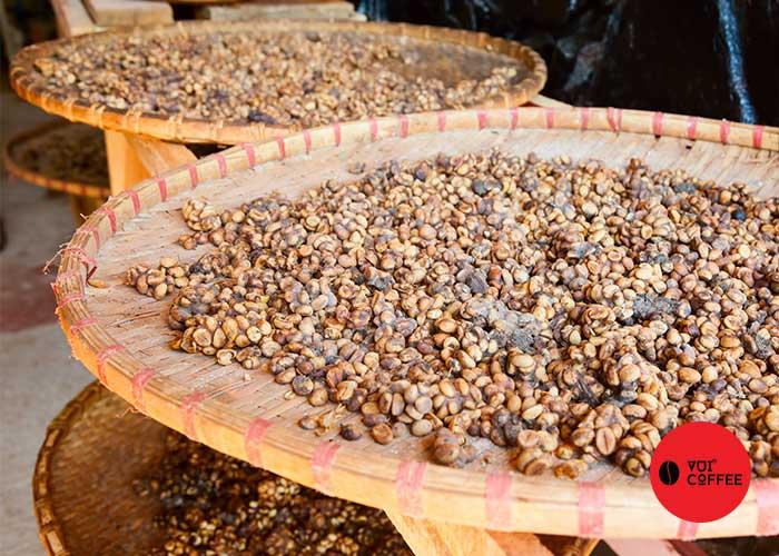 Cách sản xuất cà phê chồn tại trang trại cà phê vui