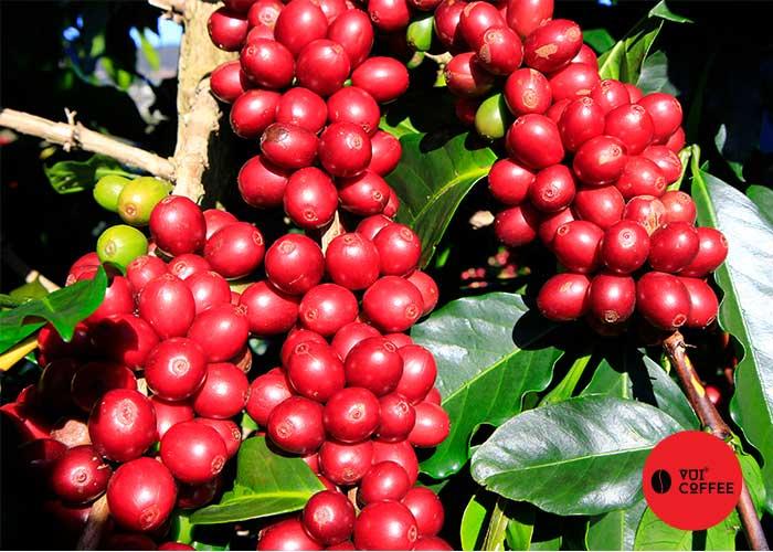 Vùng nguyên liệu cà phê vui