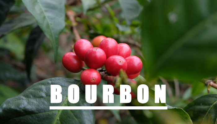 cà phê bourbon chất lượng nhất