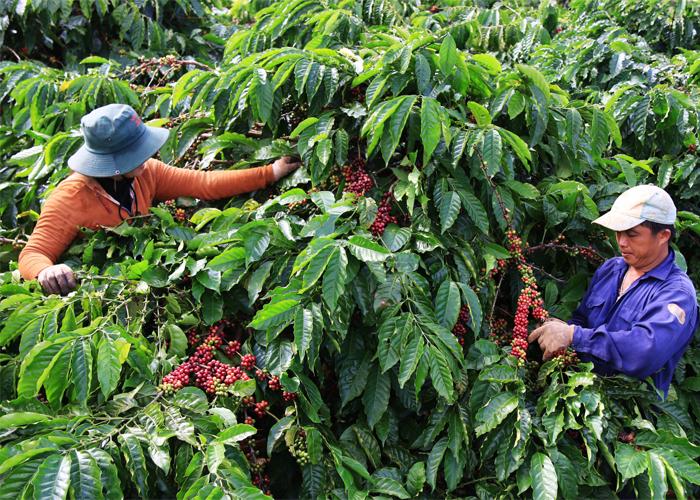 Vì sao cà phê nguyên chất Daklak nổi tiếng?-3