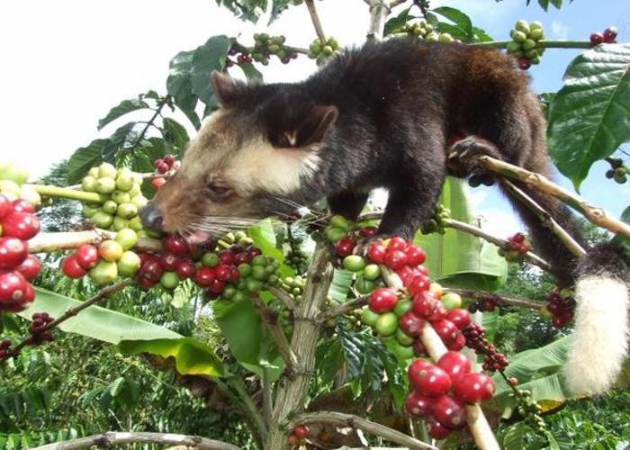 Weasel coffee Vietnam có ngon không