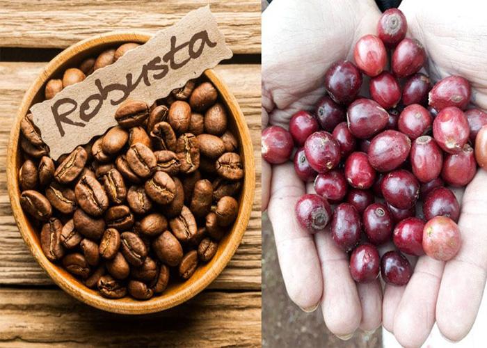 Tìm hiểu về cà phê nguyên chất Robusta-1