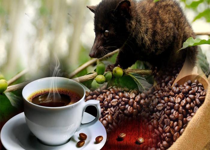 cafe chồn việt nam chất lượng nhất